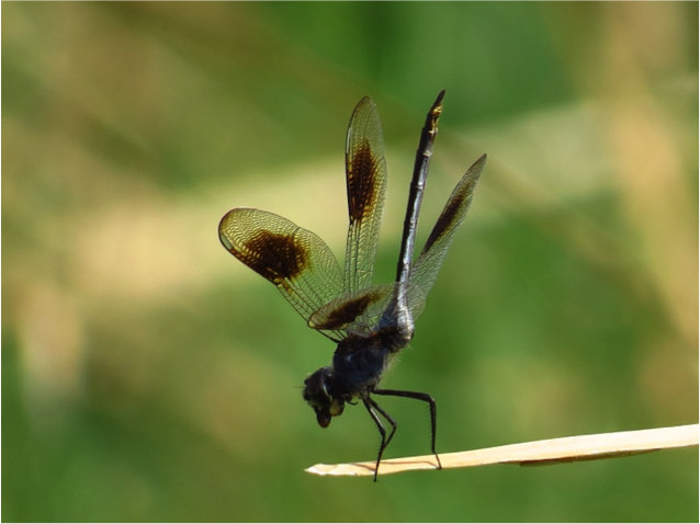 Four-spotted Pennant - Oblisking