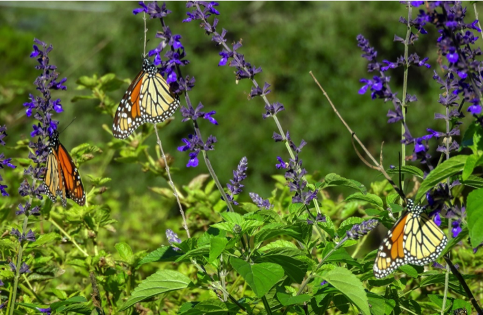 October 27 - 10:30 AM - Monarchs sampling my neighbor's salvia