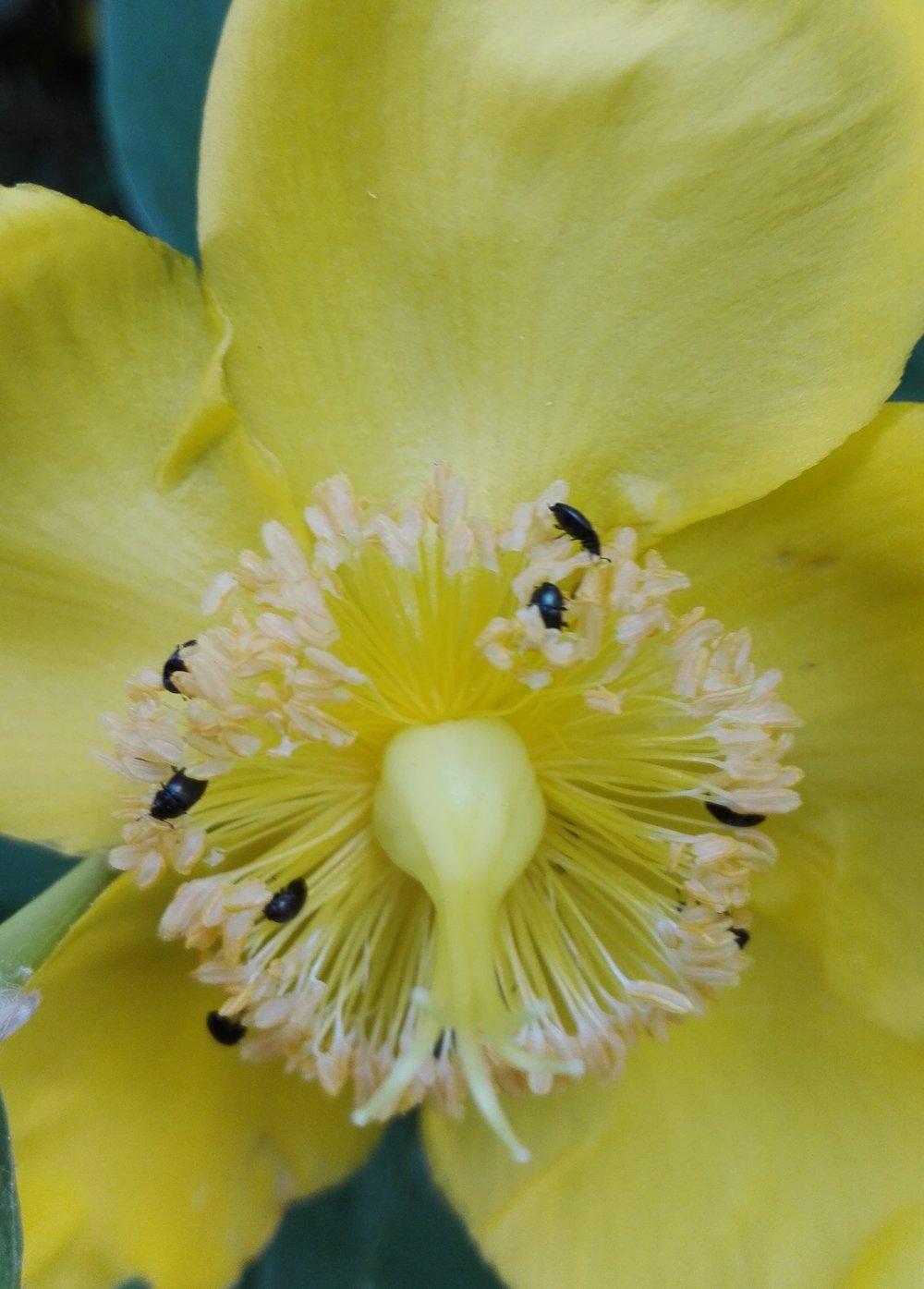 #153 Pollen Beetle