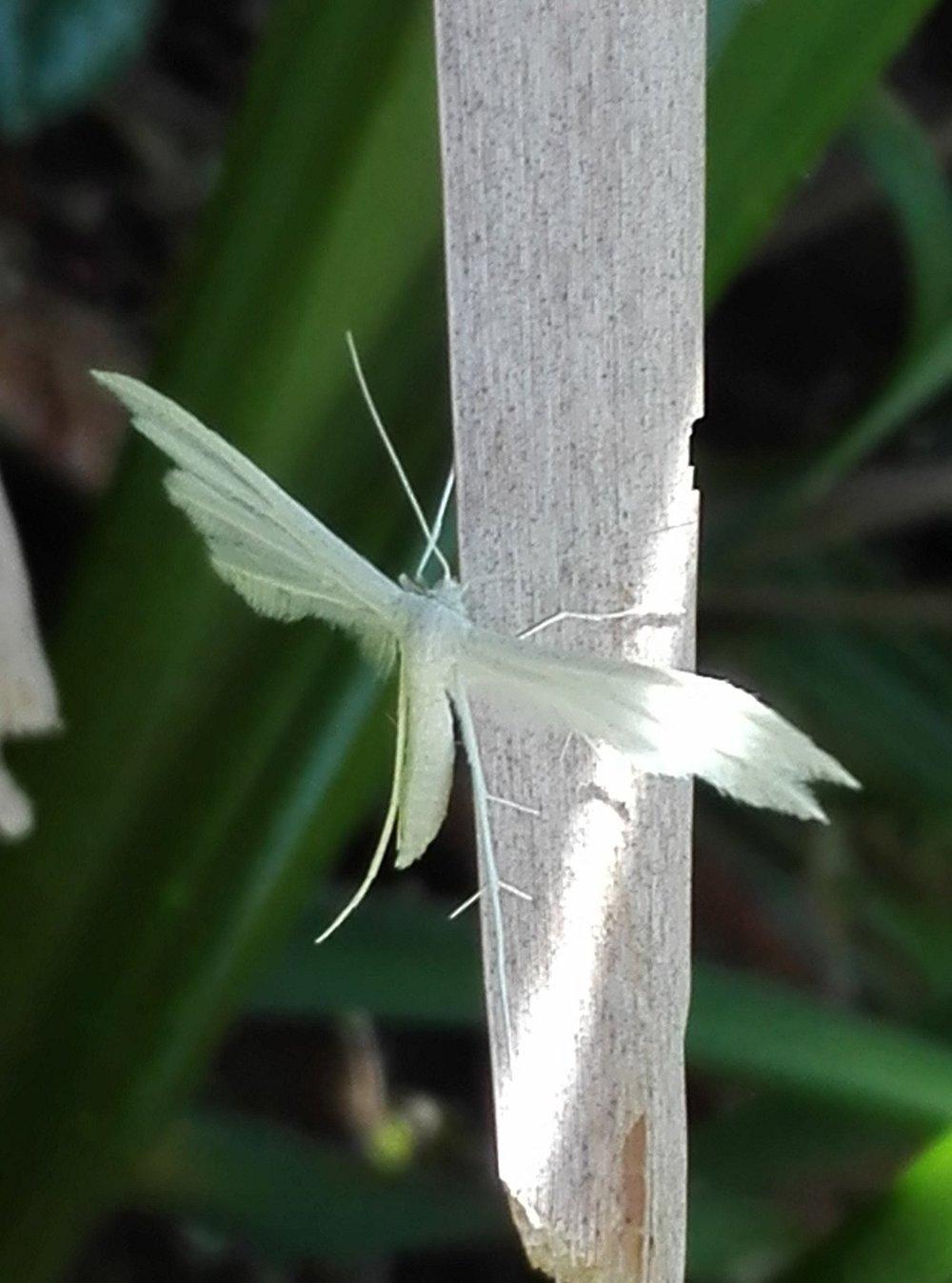 #212 White Plume Moth