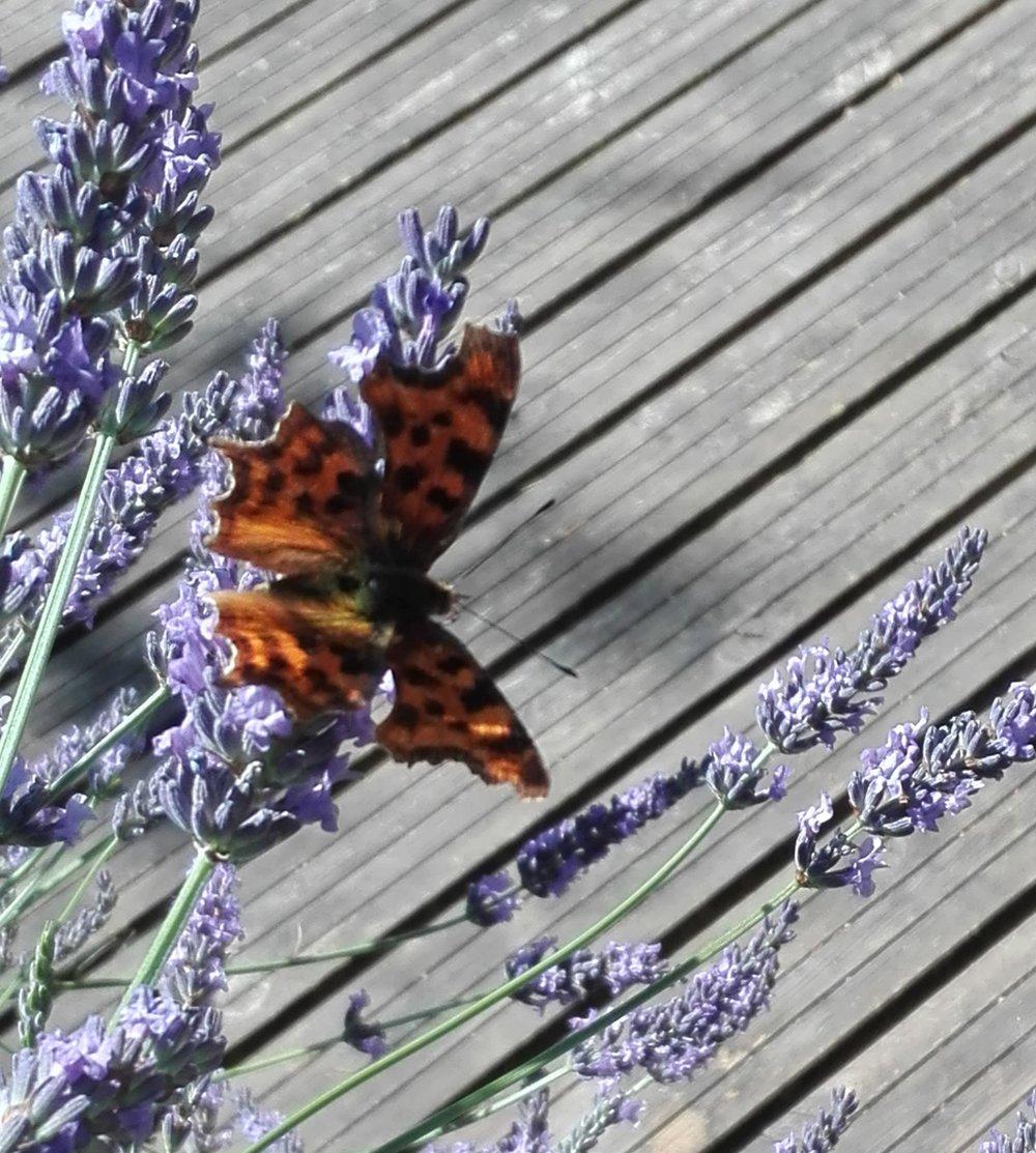 #211 Comma Butterfly