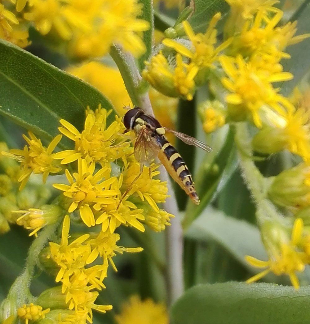 #248 Long Hoverfly
