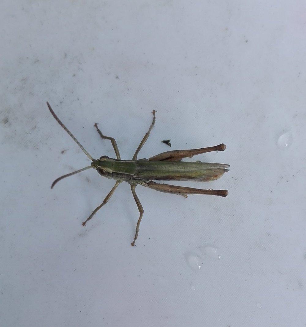 #290 Lesser Marsh Grasshopper