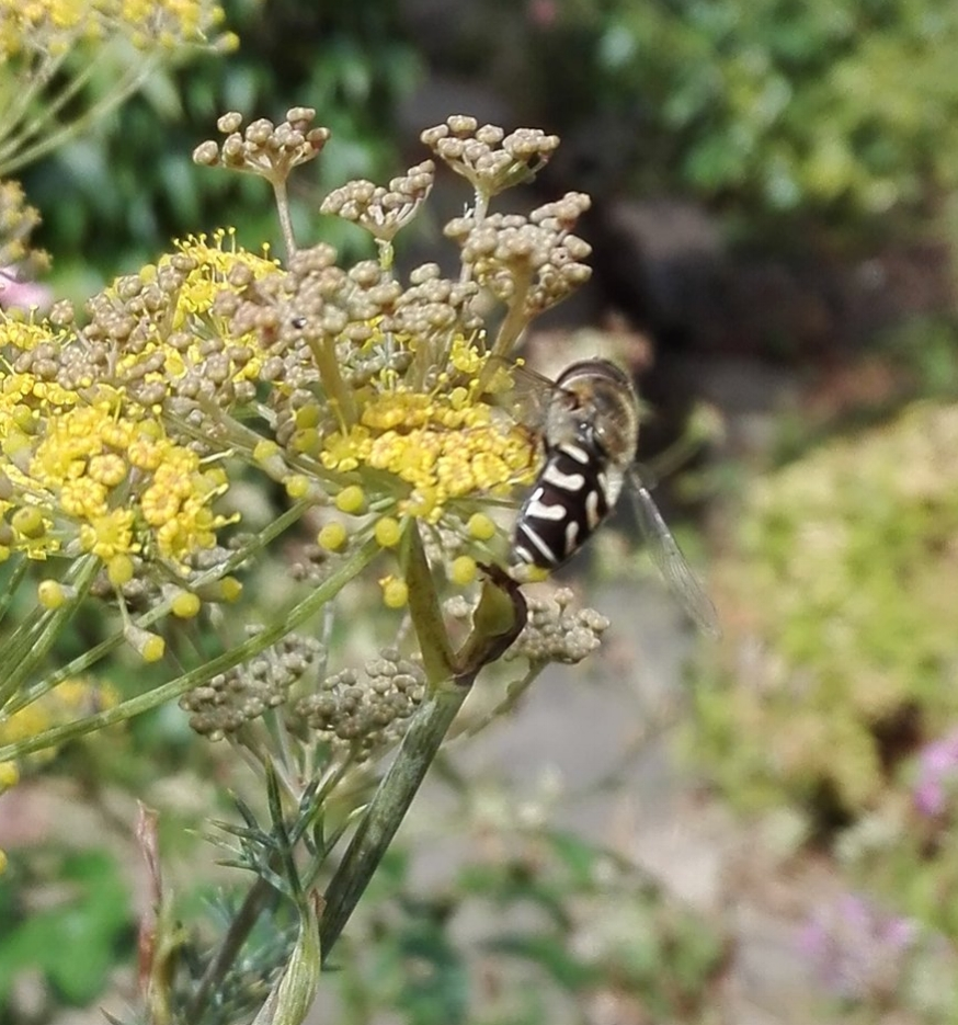 #298 Pied Hoverfly