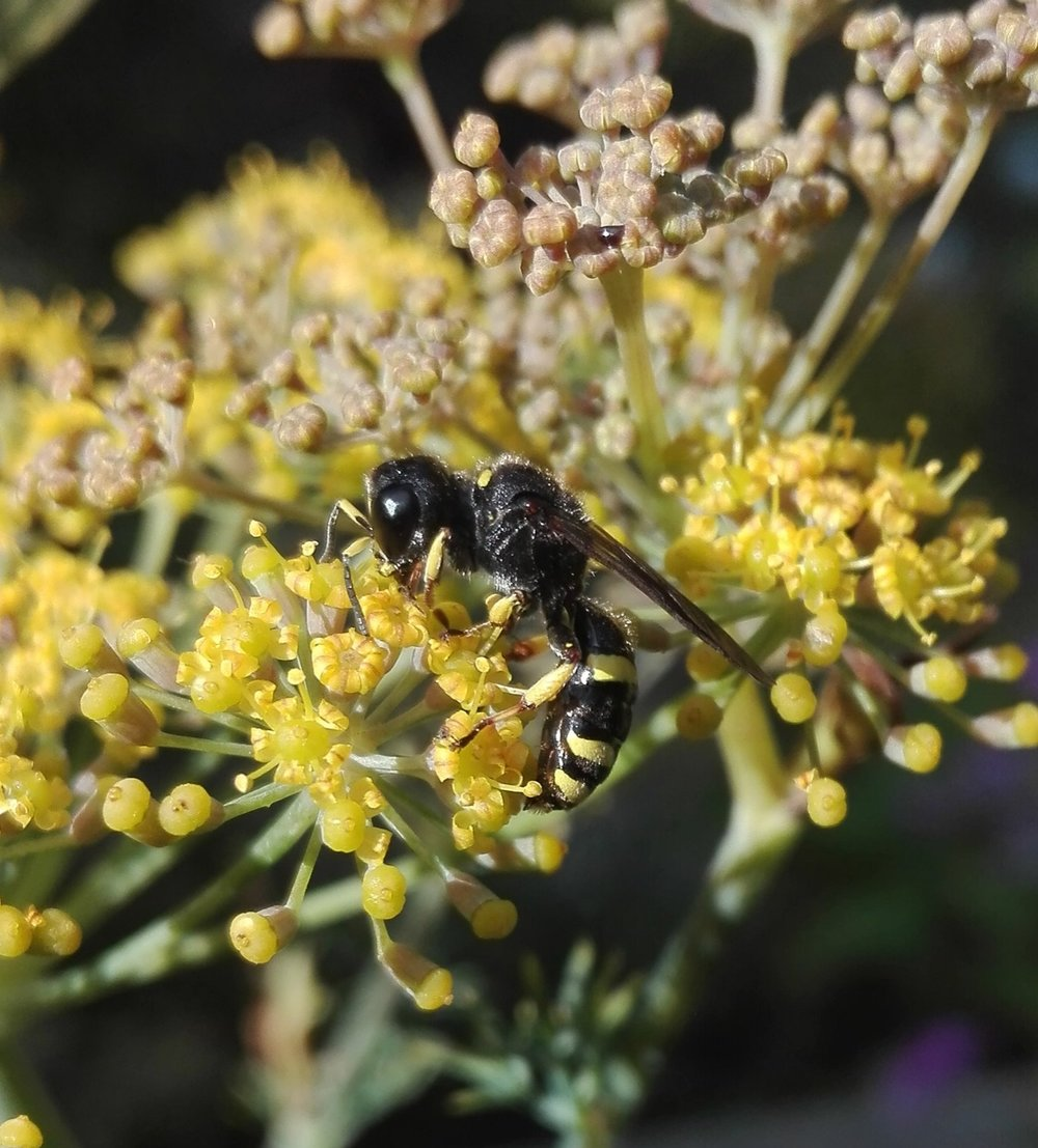 #300 Solitary Bee Ectemnius continuus