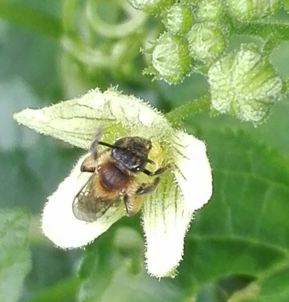 309 Yellow-legged Mining Bee on White Bryony