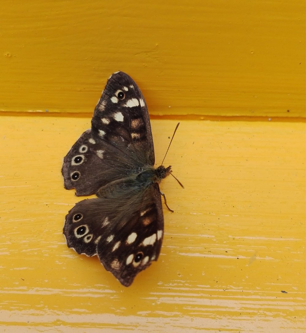 151 Speckled Wood butterfly.jpg