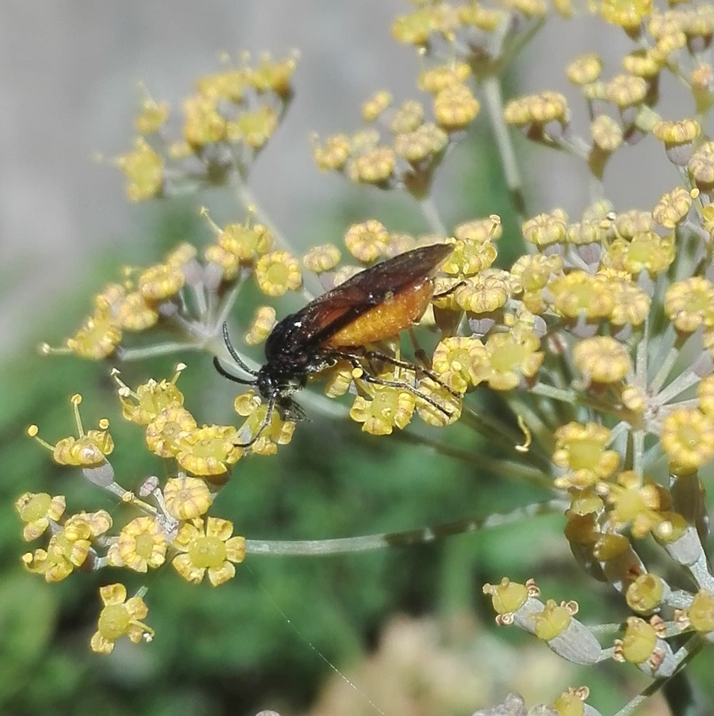 #217 Large Rose Sawfly - Arge pagana