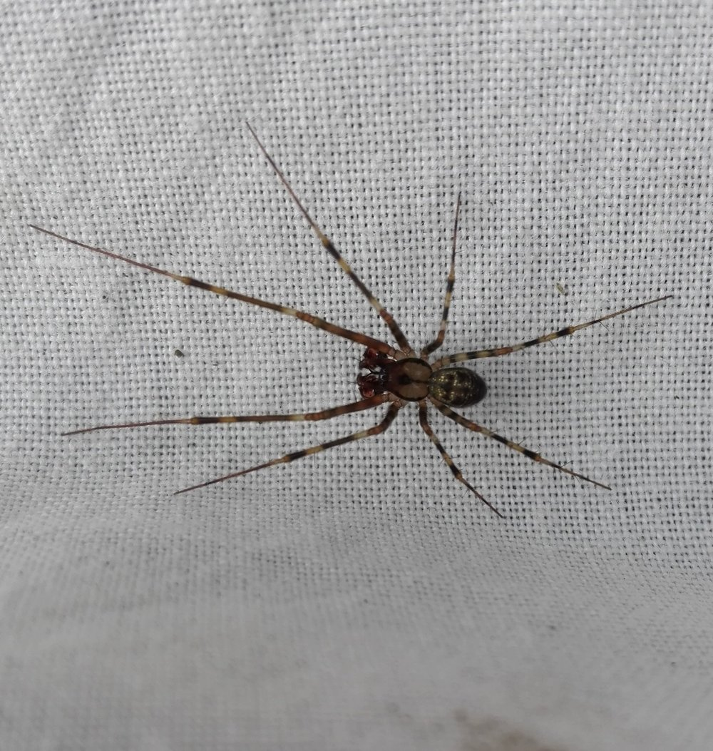 To be Identified Spider