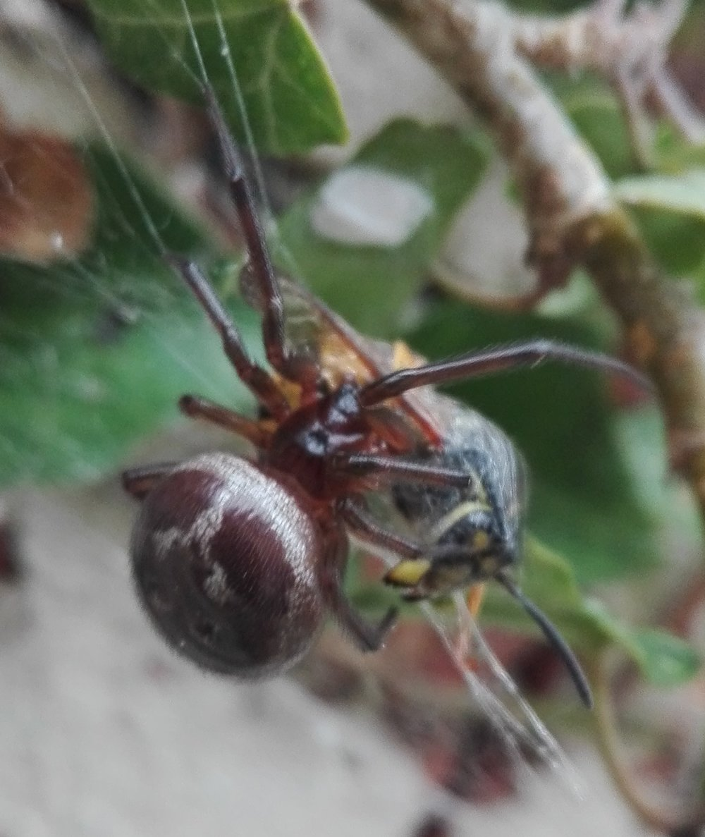 #196 Noble False Widow Spider