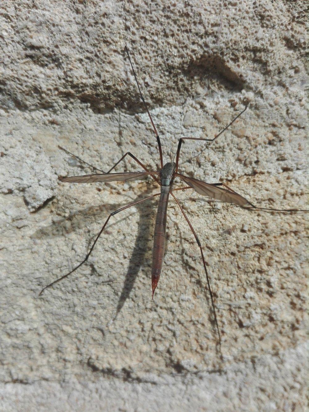 344 Tipula paludosa.jpg