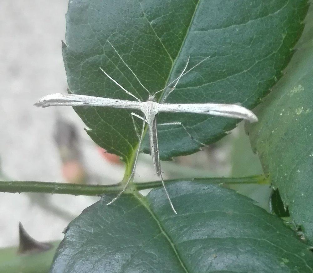 #349 Common Plume Moth (Emmelina monodactyla)