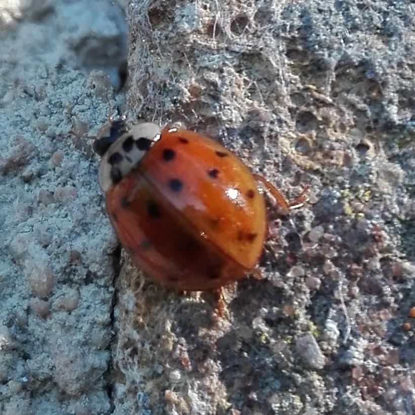124 Harlequin Ladybird.jpg