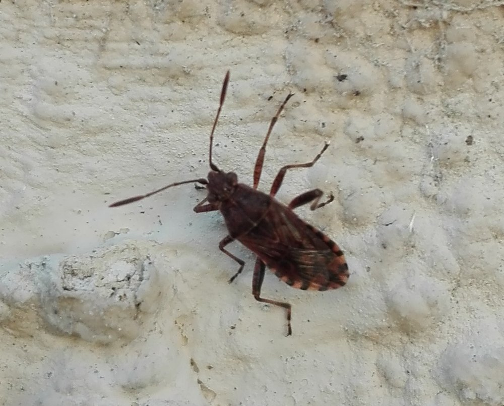 357 Scentless Plant Bug.jpg