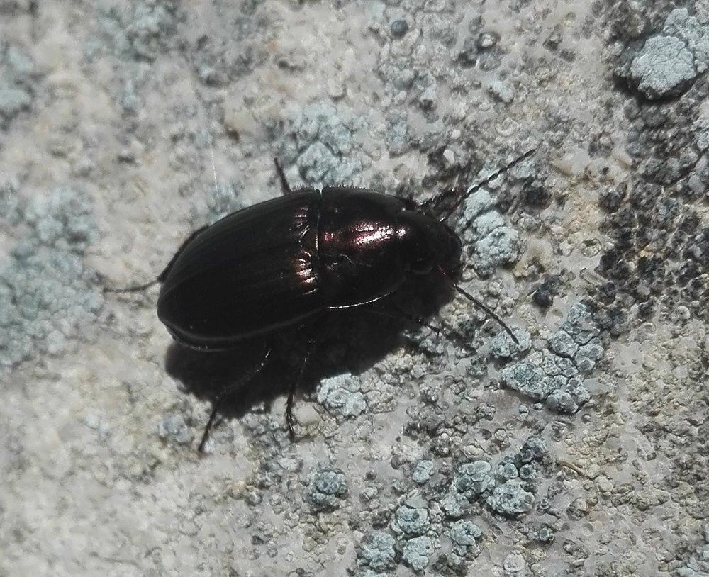 352 Amara sp ground beetle.jpg