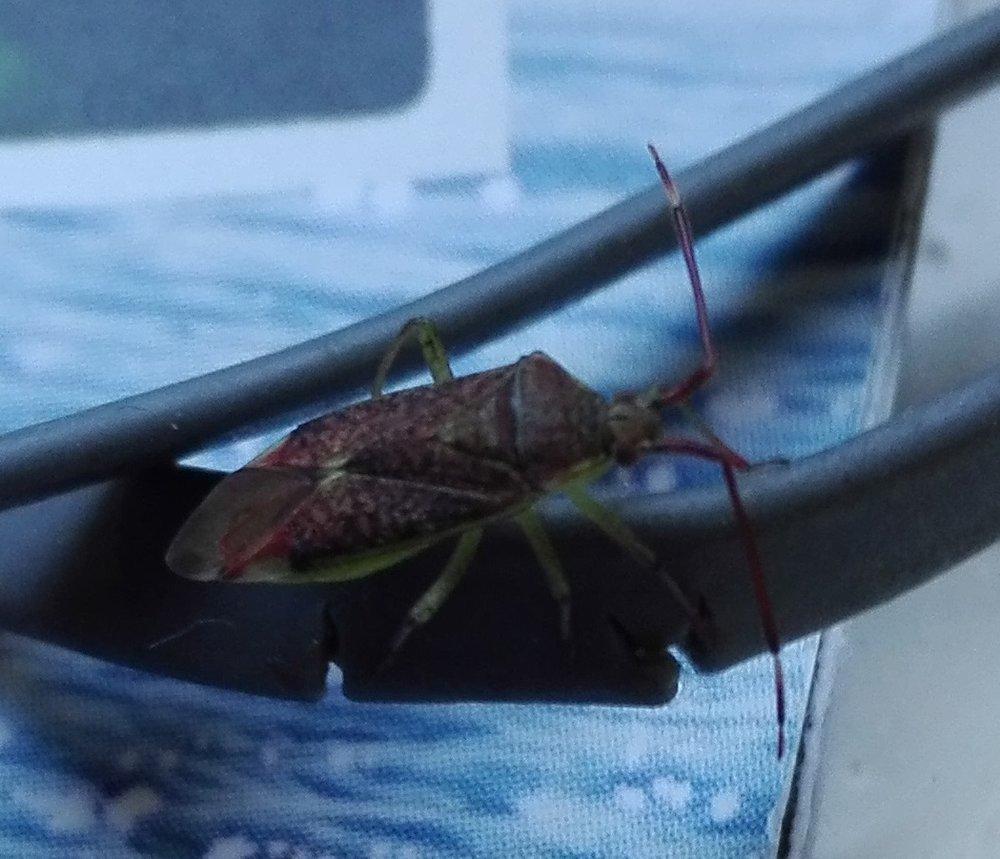 #377 Pantilius tunicatus (Mirid Bug)
