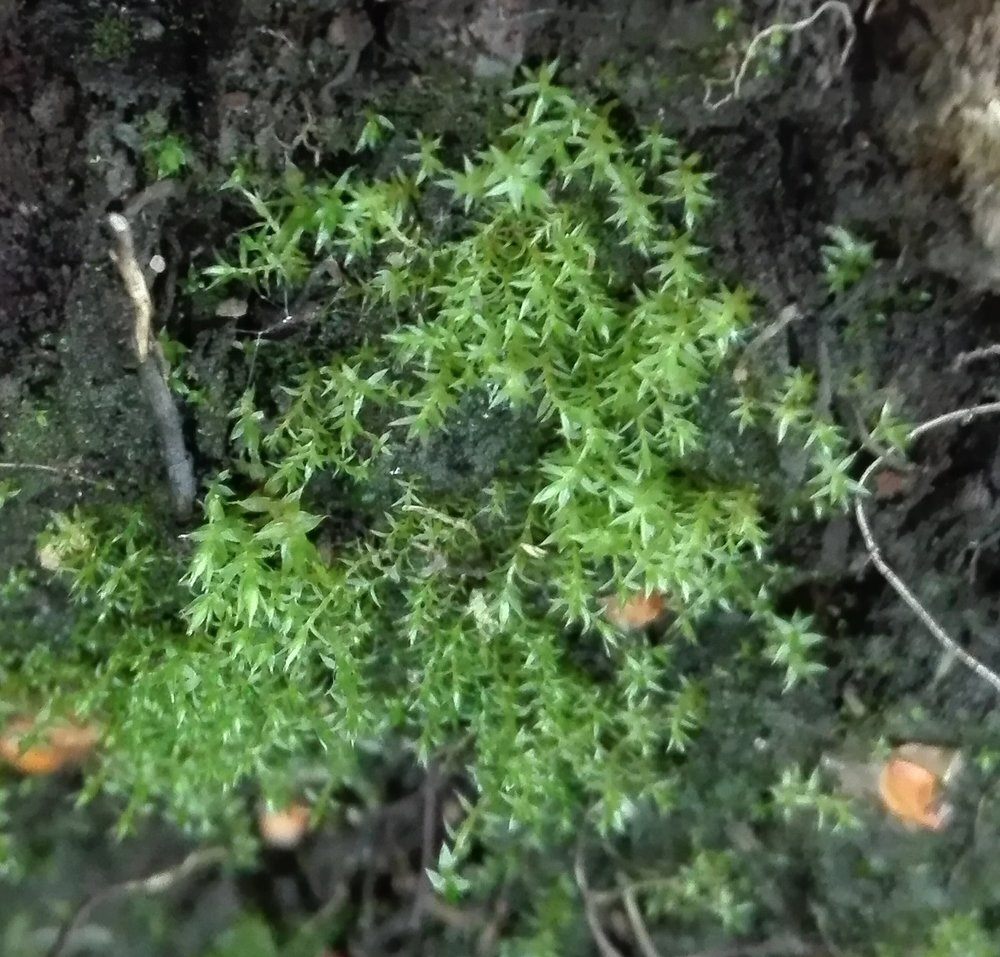 #386 Lesser Bird's-claw Beard-moss (Barbula convoluta)
