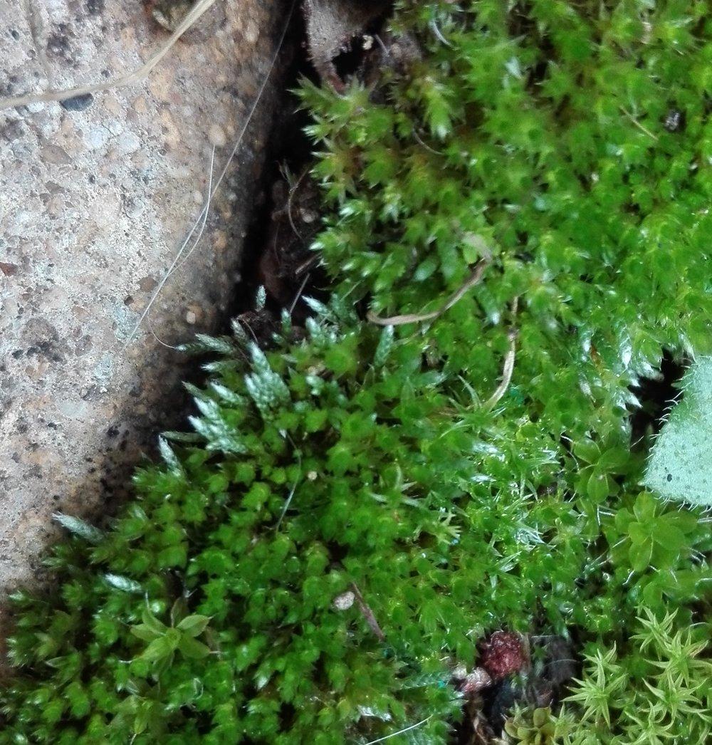 #385 Silver Moss (Bryum argenteum)