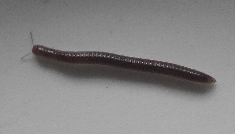 #208 White-legged Snake Millipede (Tachypodoiulus niger)