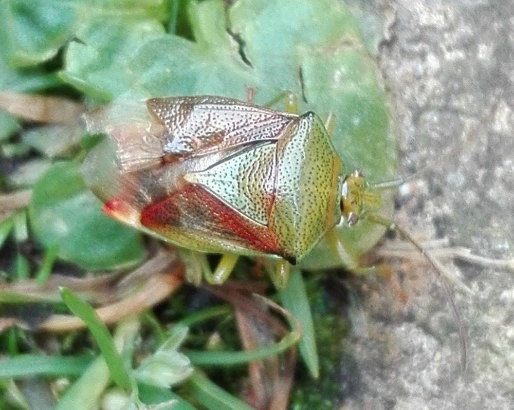 #282 Birch Shieldbug (Elasmostethus interstinctus)