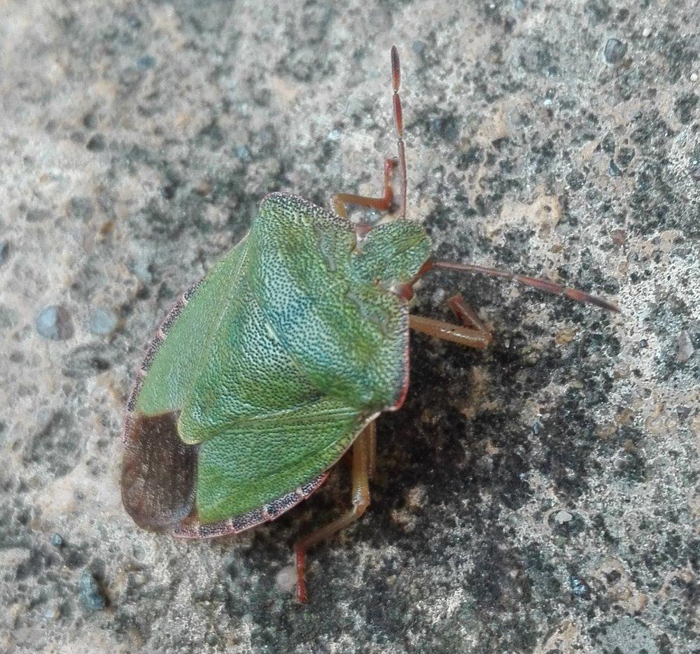 #350 Green Shieldbug (Palomena prasina)