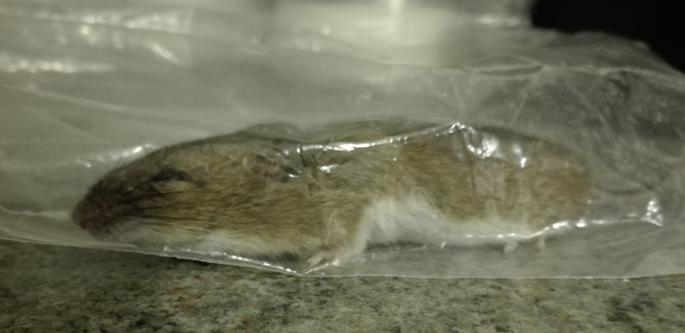 #399 Wood Mouse (Apodemus sylvaticus)