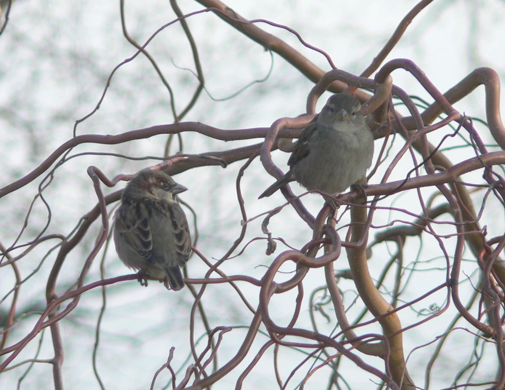 #2 House Sparrow (Passer domesticus)