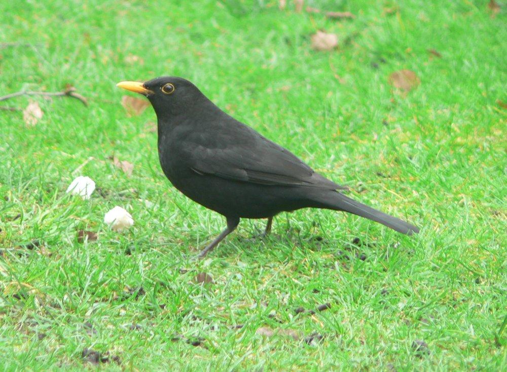 #7 Blackbird (Turdus merula)