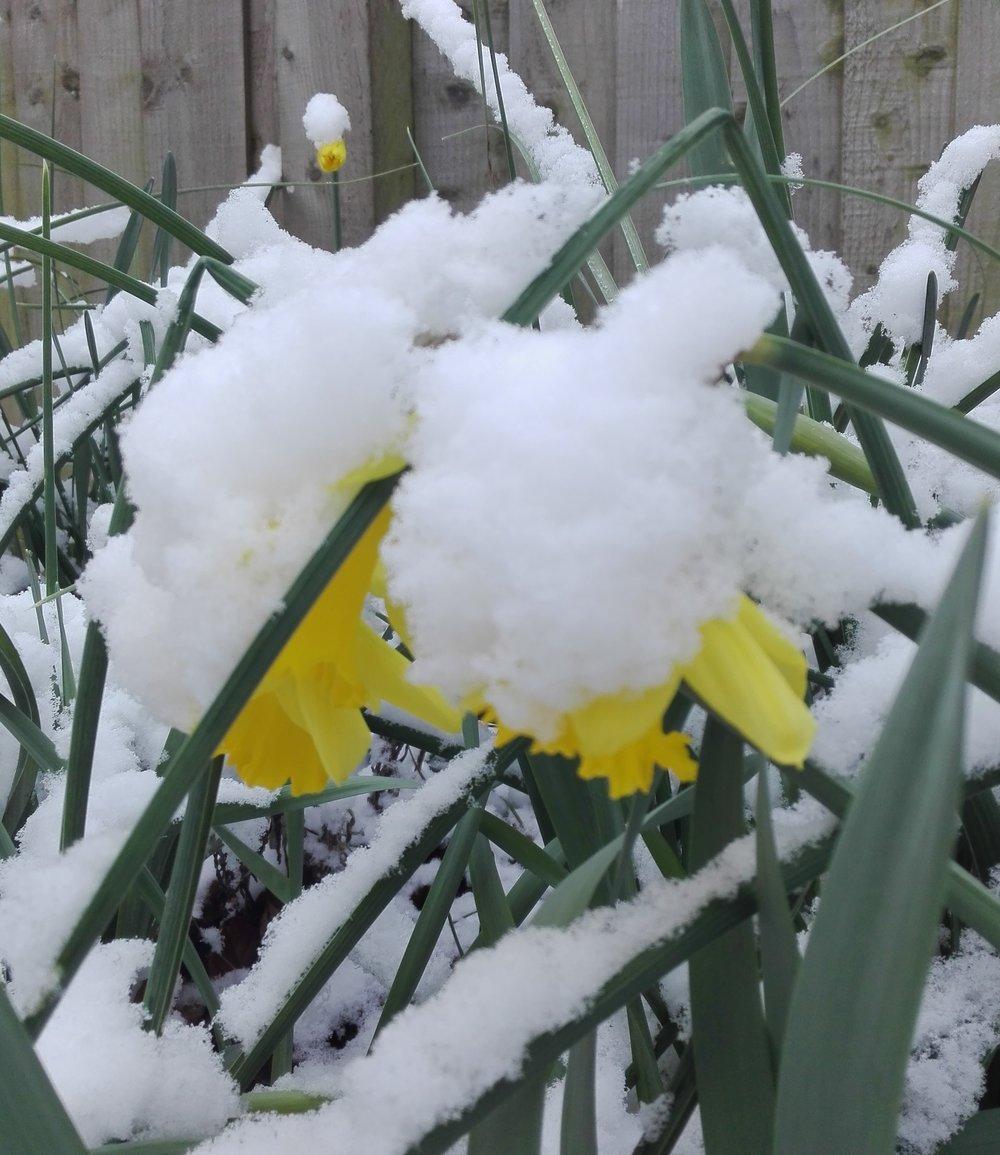 Snowy daffodils
