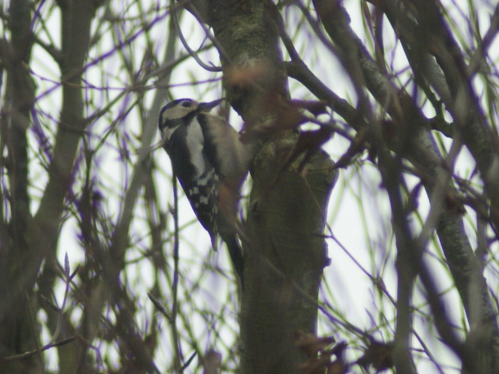#125 Great-spotted Woodpecker (Dendrocopos major)