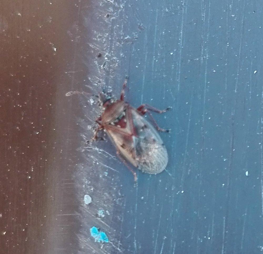 #335 Birch Catkin Bug (Kleidocerys resedae)