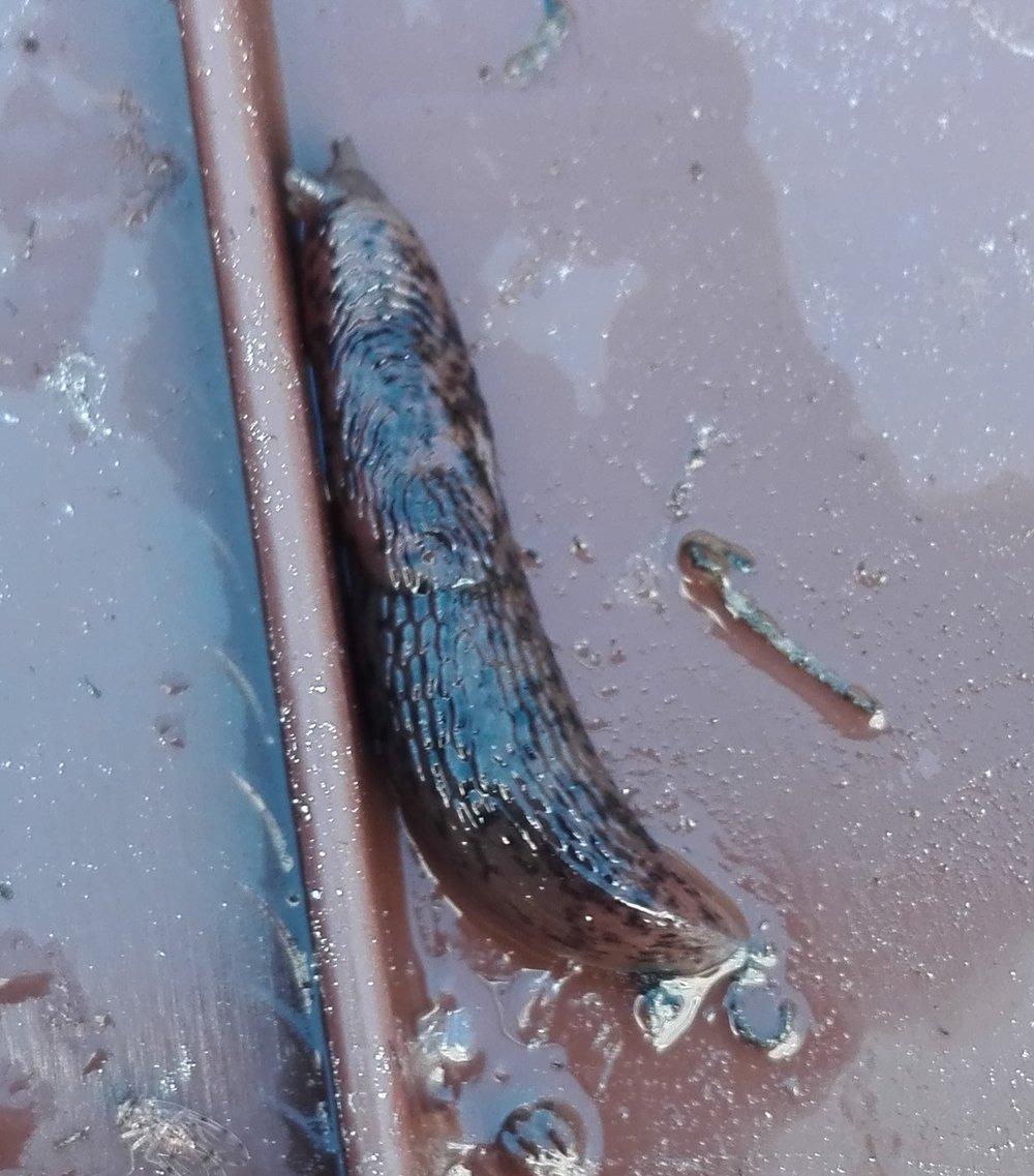 #356 Grey Field Slug (Deroceras reticulatum)