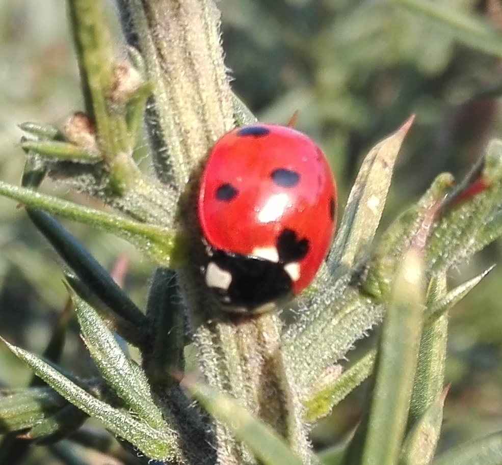 #287 Seven-spot Ladybird (Coccinella septempunctata)