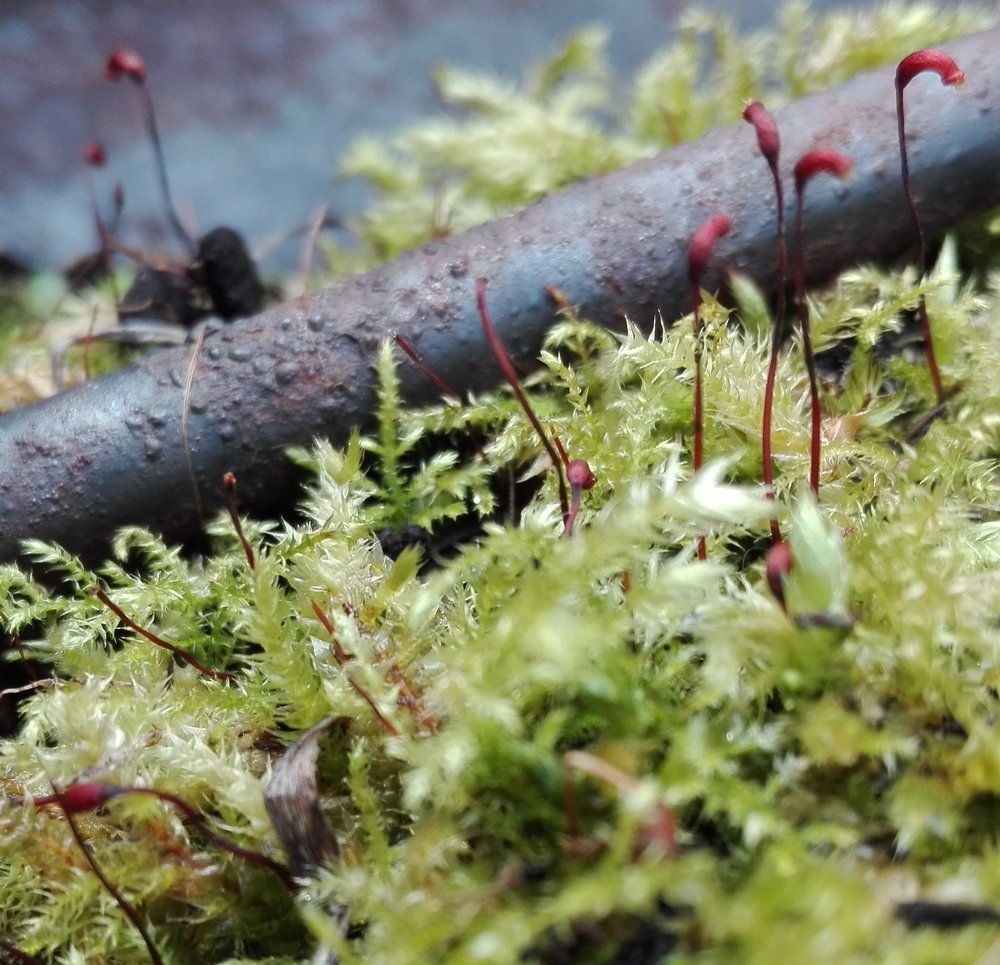#68 Rough-stalked Feather-moss (Brachythecium rutabulum)