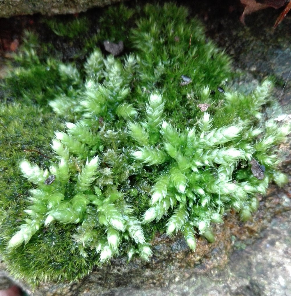 #420 Silky Wall Feather-moss (Homalothecium sericeum)