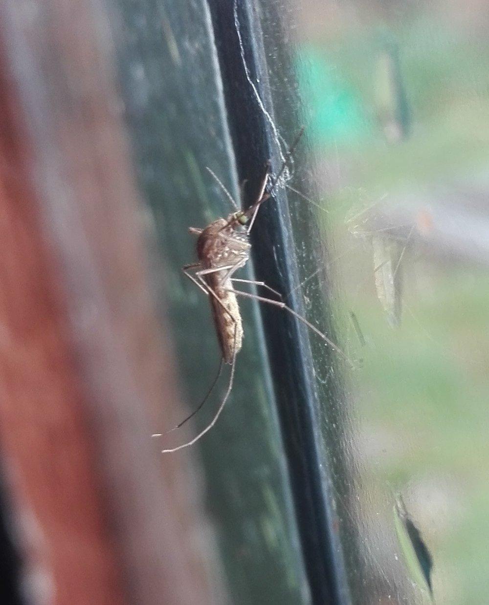 #332 Common House Mosquito (Culex pipiens)