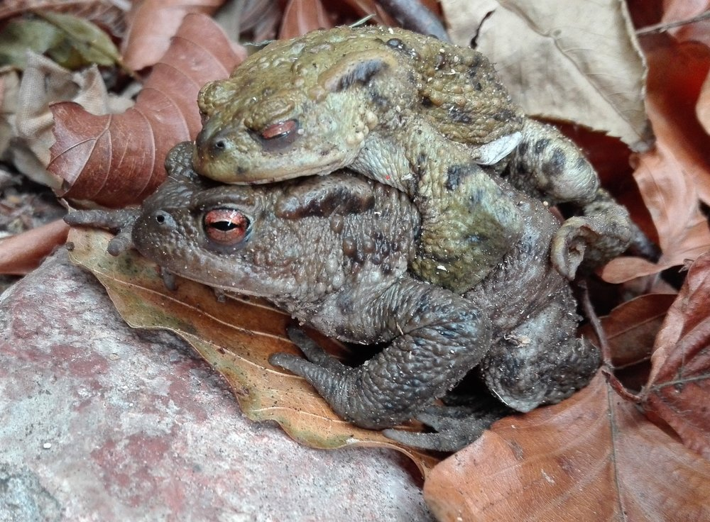 #108 Common Toad (Bufo bufo)