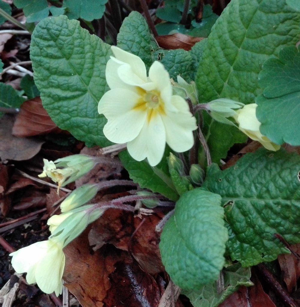 #422 Primrose (Primula vulgaris)