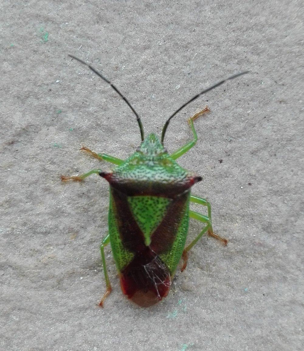 #427 Hawthorn Shield Bug (Acanthosoma haemorrhoidale)