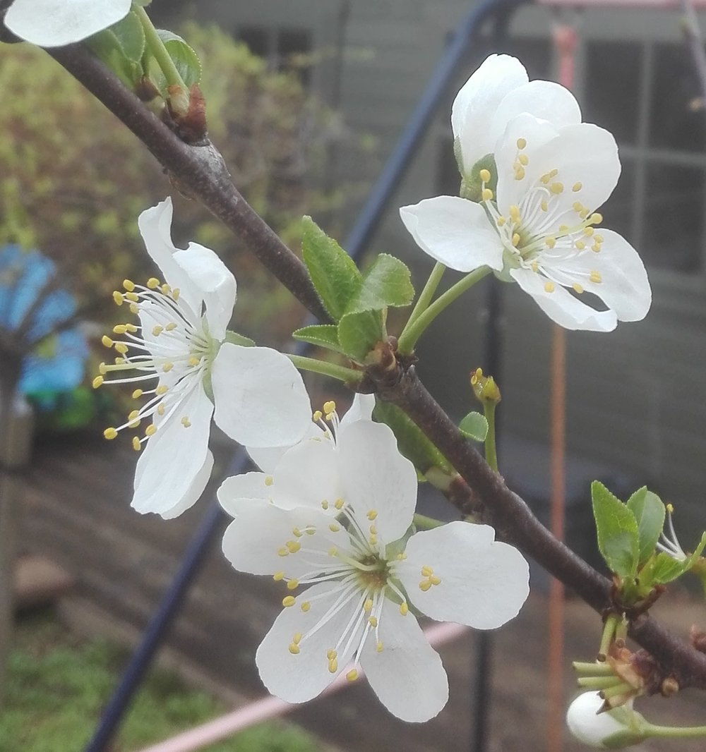 #57 Plum flower (Prunus domestica)