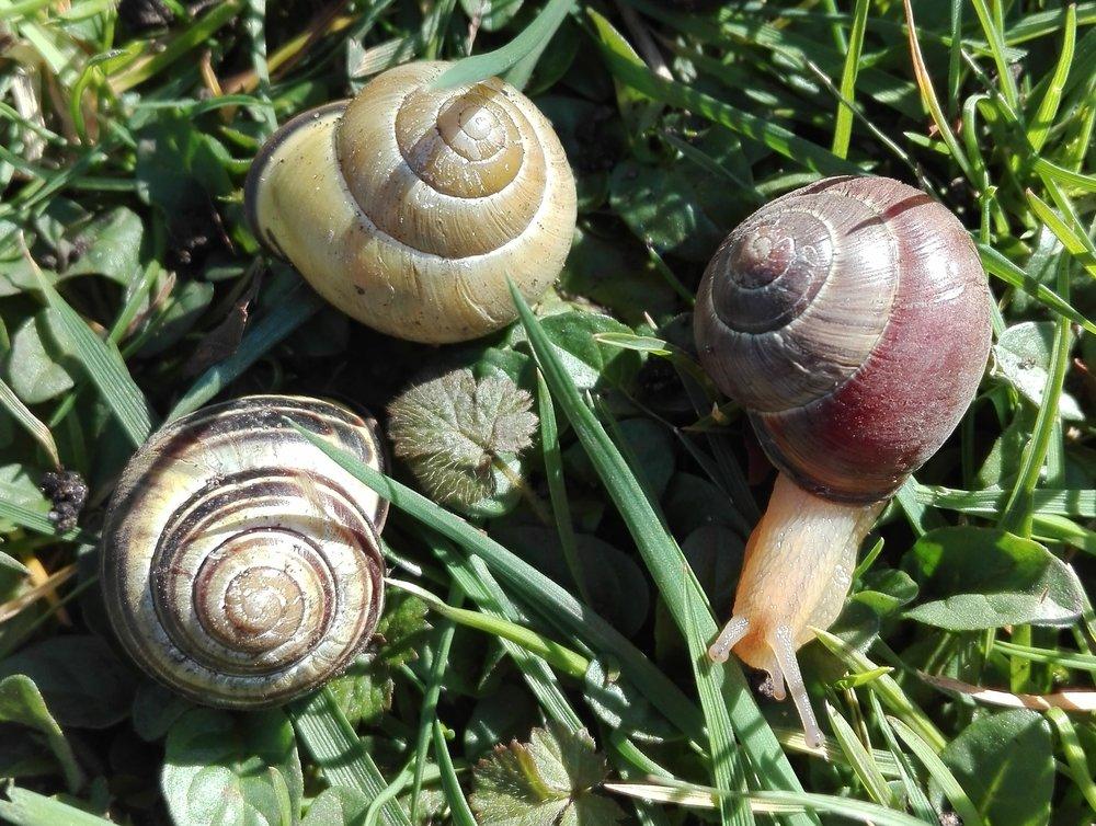#67 Brown-lipped Snail (Cepaea nemoralis)