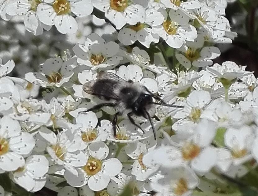 #61 Ashy Mining Bee (Andrena cineraria)