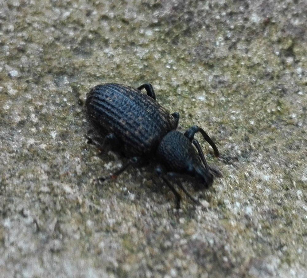 #451 Vine Weevil (Otiorhynchus sulcatus)
