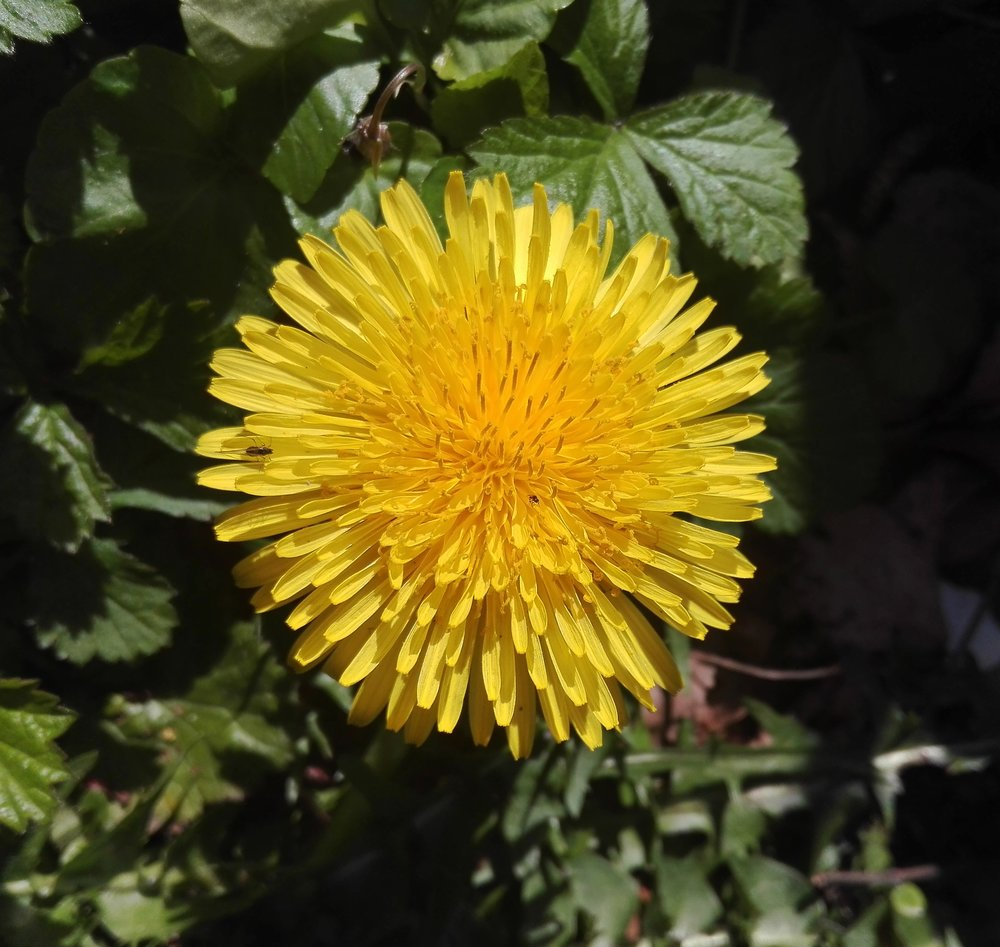 #21 Common Dandelion (Taraxacum officinale)