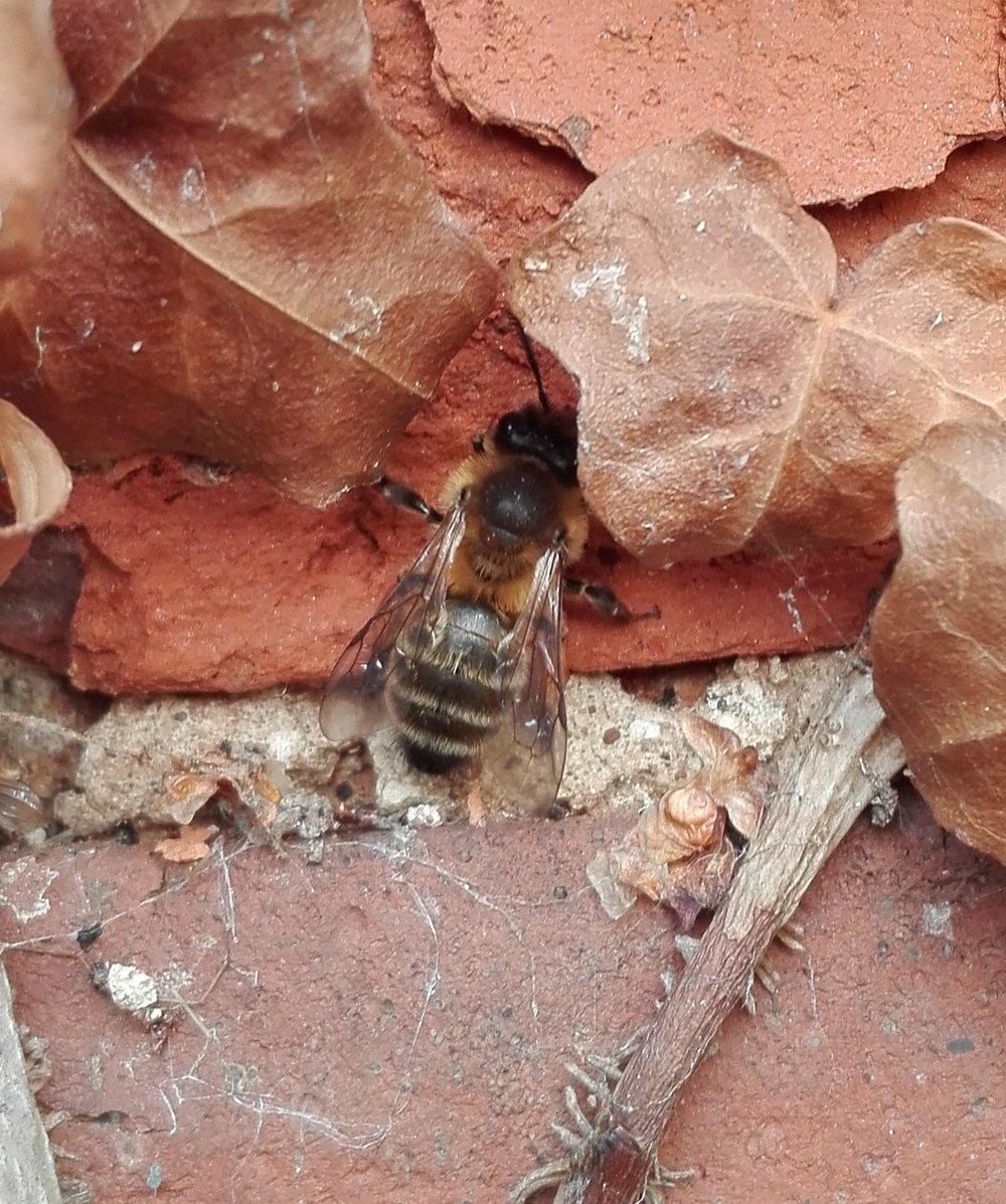 #459 Chocolate Mining Bee (Andrena scotica)
