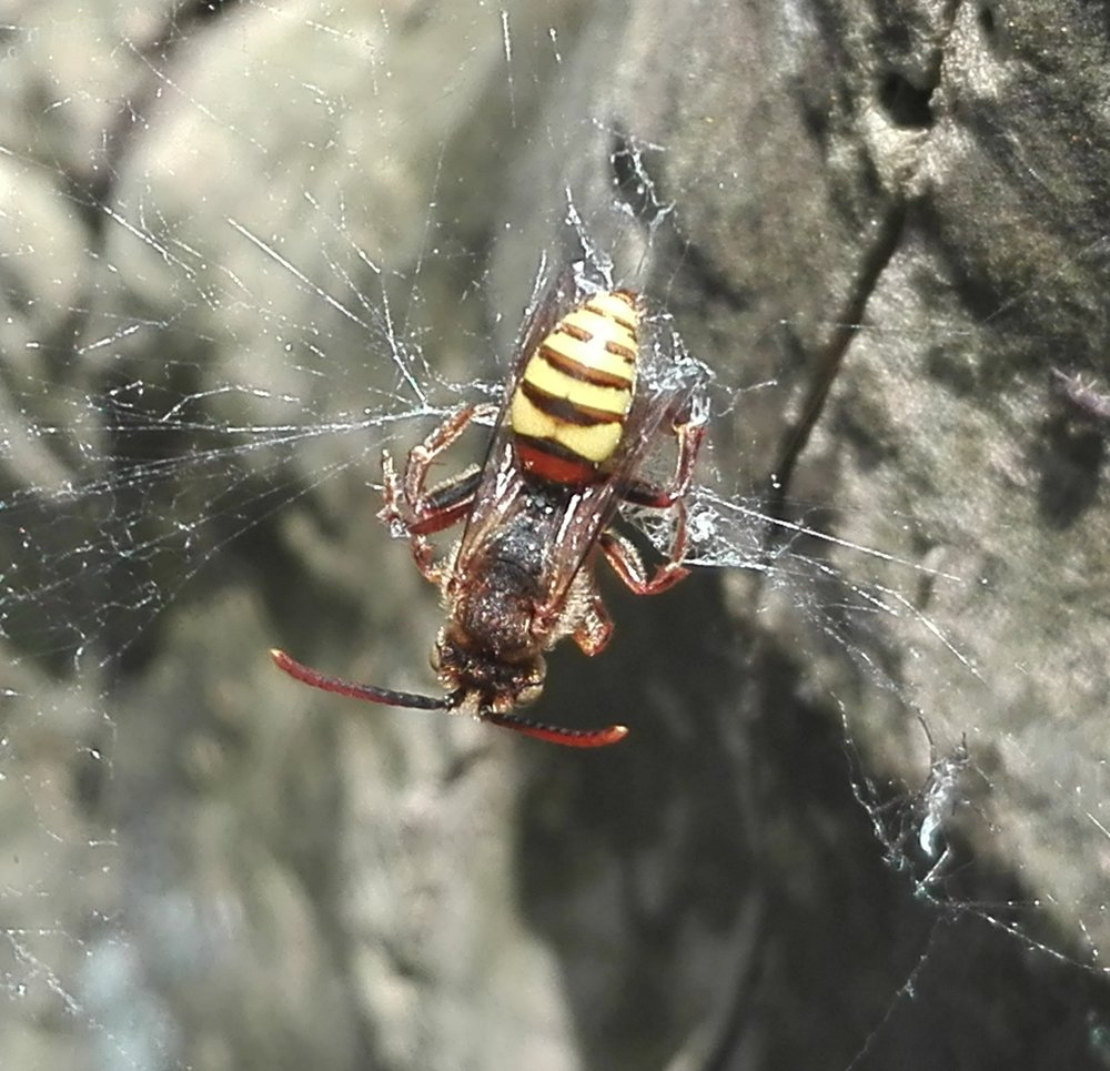 #463 Flavous Nomad Bee (Nomada flava)