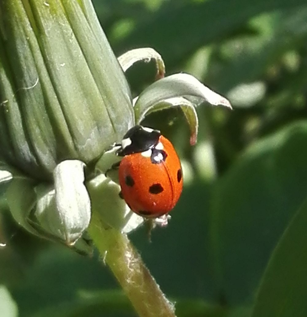 #287 7 Spot Ladybird (Coccinella septempunctata)