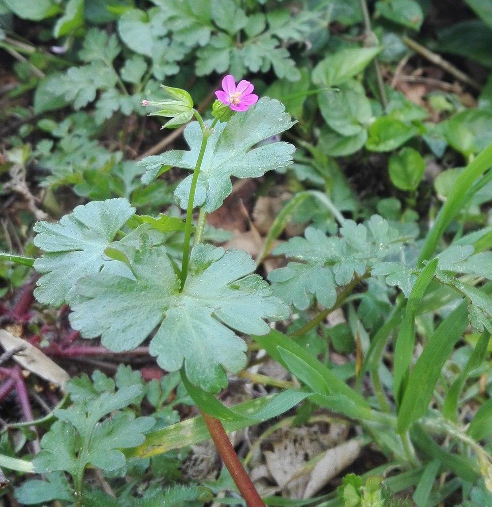 #466 Shining Cranesbill (Geranium lucidum)