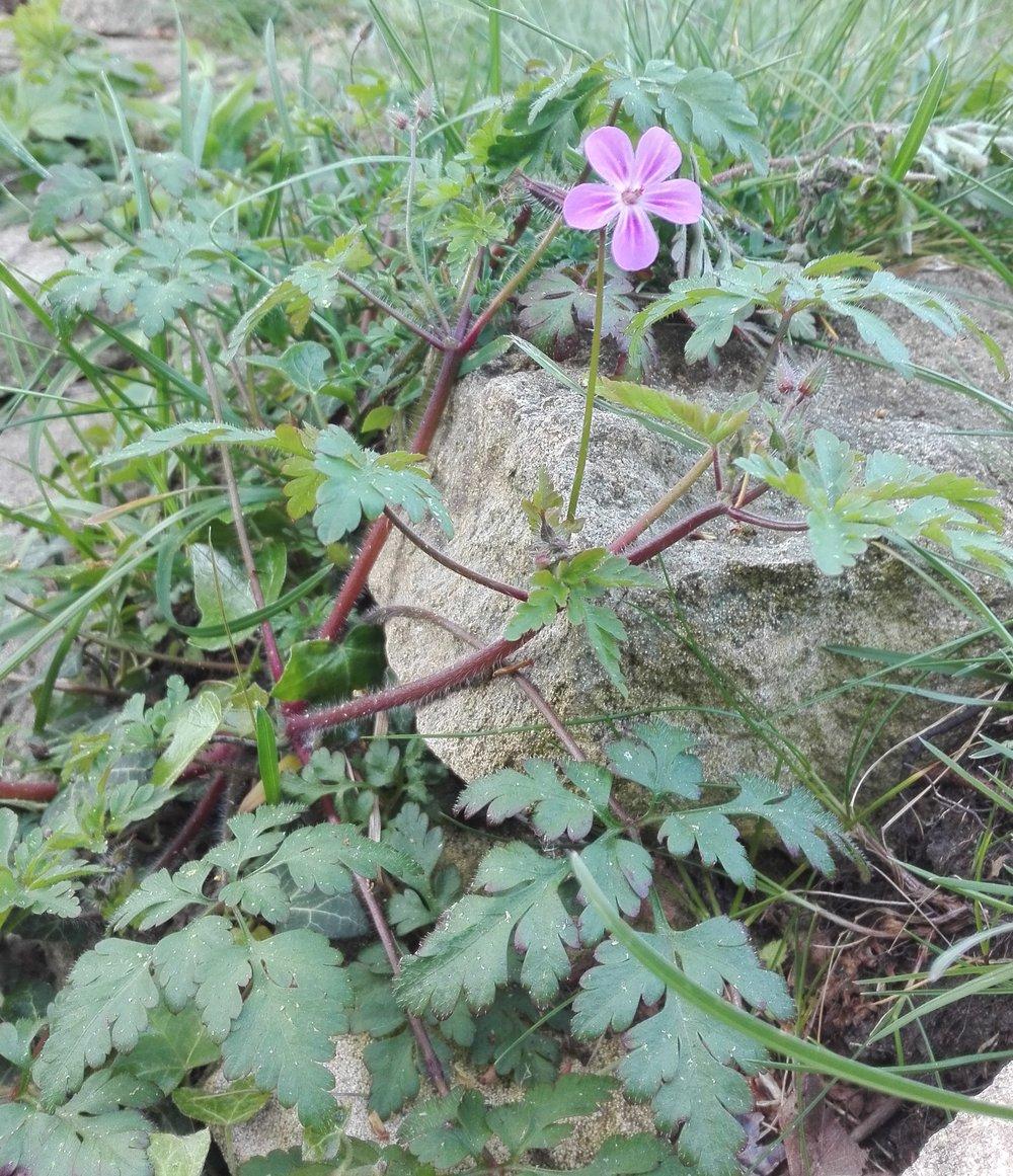 #22 Herb Robert (Geranium robertianum)