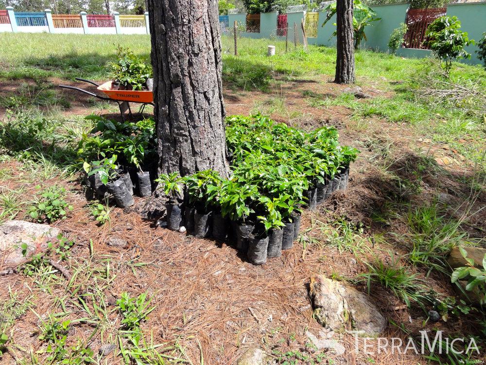 coffee-seedlings-by-tree-casa-hogar.jpg